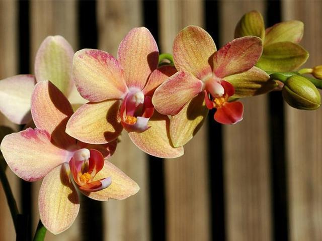 Орхидея Фаленопсис: уход в домашних условиях, болезни и вредители, их фото и чем их лечить растение