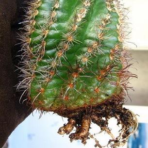 Болезни кактусов и его вредители: описание, фото и советы, что делать для лечения, в том числе, если появились черные или ржавые пятна или растение падает на бок