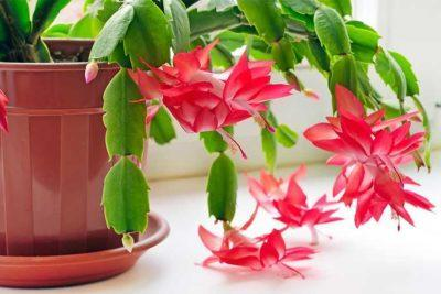 Как поливать декабрист в домашних условиях правильно: как часто нужно это делать зимой, при цветении рождественника и в другое время года, а также чем надо удобрять?