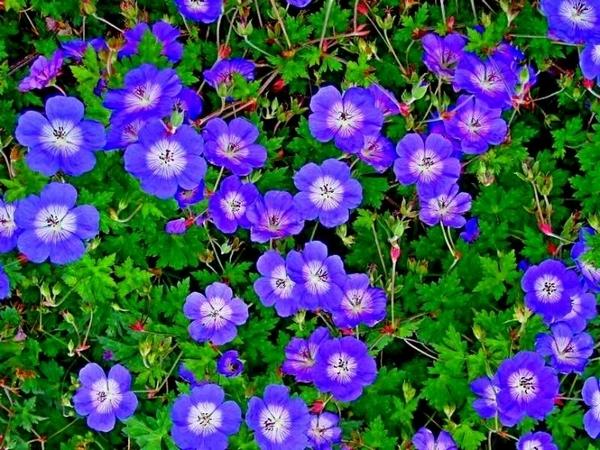 Виды и сорта комнатной герани: фото и названия с описанием, а также краткие сведения о садовой пеларгонии и советы по уходу за растением