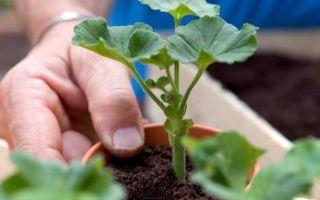 Грунт для пеларгонии: состав почвы, а также рекомендации, как сажать в подготовленную землю, какой по размеру нужен горшок?