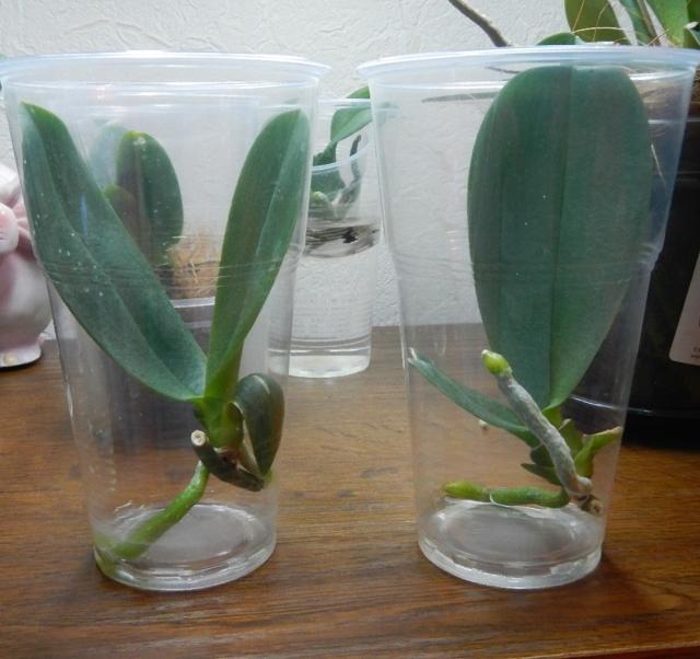 Детки на орхидее у корня, на стволе, стебле, точке роста, у основания: как понять, что они растут?
