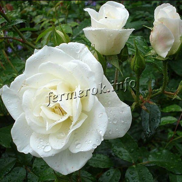 Плетистая роза: белая, золотая, желтая, голубая, зеленая, черная и других оттенков с описанием сортов, например, Бесконечный розовый