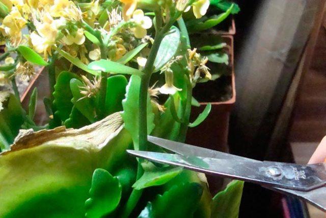 Обрезка кактуса: можно ли проводить её, когда необходимо удаление верхушки, как сделать в домашних условиях, как ухаживать за растением после процедуры?