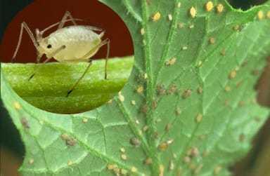 Трипс: кто или что это такое, как выглядит вредитель и его личинки на растениях, поражает ли огурцы, а также фото насекомого
