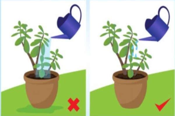 Как поливать денежное дерево в домашних условиях правильно, можно ли опрыскивать и как часто нужно, сколько раз в неделю надо увлажнять толстянку зимой?