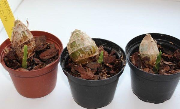 Как посадить орхидею в домашних условиях: во что лучше - в горшок или корягу, советы новичкам по уходу, а также нюансы размножения луковицей и прочим