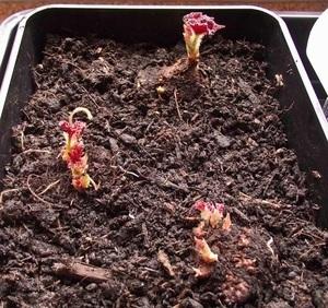 Комнатное растение бегония императорская: описание подвидов, тонкости посадки, уход за цветком и способы его размножения, вредители и заболевания