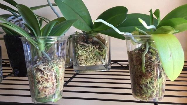 Мох для орхидеи: как использовать сфагнум в горшке, чем можно его заменить, какие еще есть виды, а также правила посадки в зеленый субстрат и фото