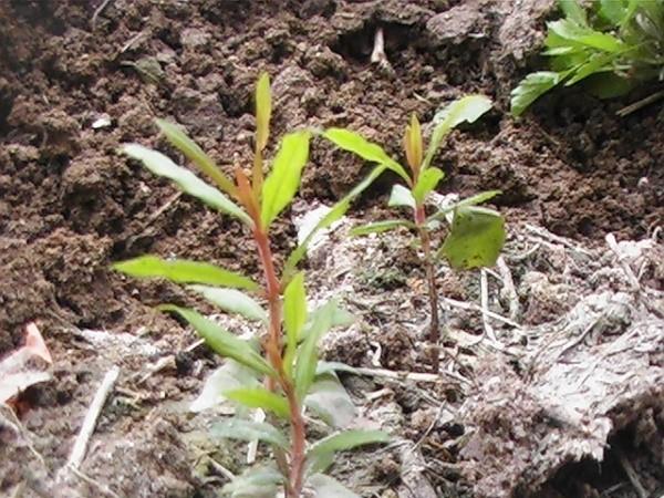Как вырастить гранат правильно: посадка и уход за деревом в открытом грунте, к примеру, в саду или на даче, как происходит выращивание в домашних условиях