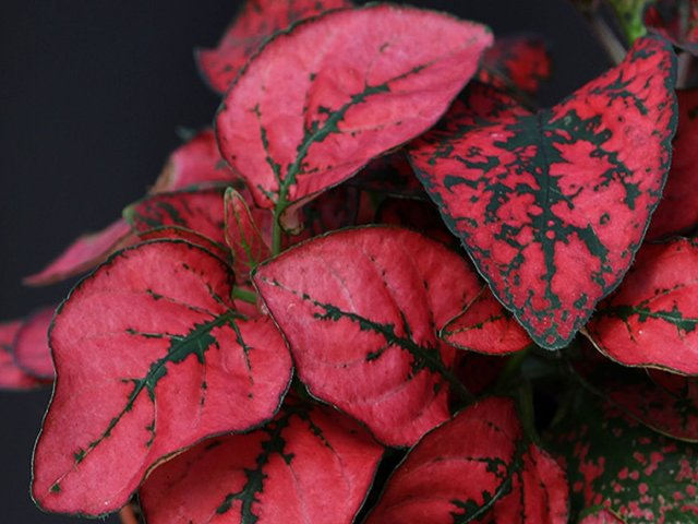 Гипоэстес: что это за растение, какой ему нужен уход в домашних условиях, описание сортов Микс, Розовая вуаль и других, а также фото, в том числе во время цветения