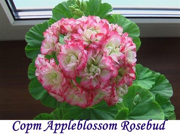 Герань розебудная: описание и фото, в том числе тюльпановидного сорта и Эппл Блоссом, а также особенности ухода в домашних условиях