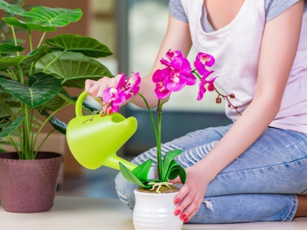 Зеленая орхидея: описание, фото, а также пошаговое выращивание цветка в горшке