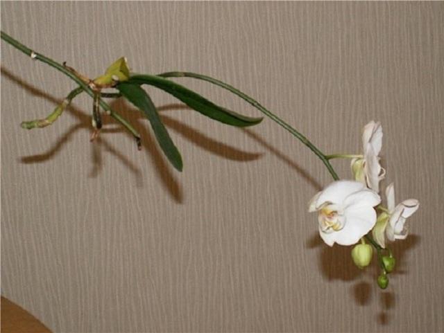 Как посадить детку орхидеи в домашних условиях: разбираем, как взять, отделить и переместить в горшок отросток, который образовался на цветоносе