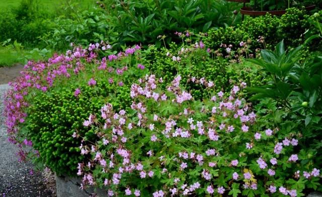 Герань садовая: описание уличного цветка с махровыми листьями и фото, использование в ландшафтном дизайне, размножение черенками многолетних сортов