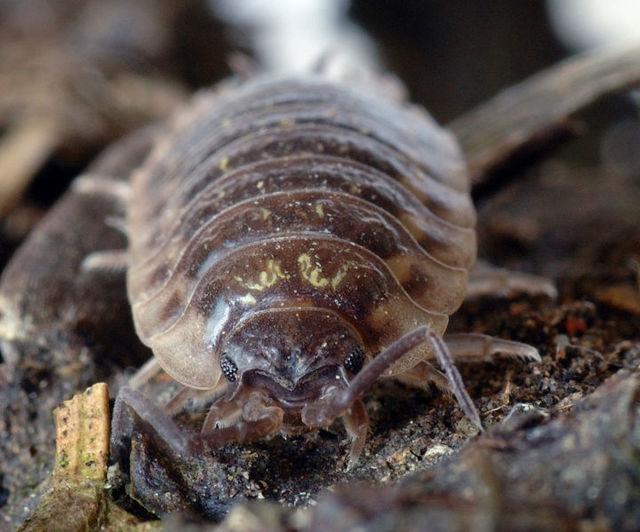 Мокрицы домашние: кто или что это такое, обыкновенные насекомые в квартире или нет, значение в природе и жизни человека, строение паразита, фото развитие личинок