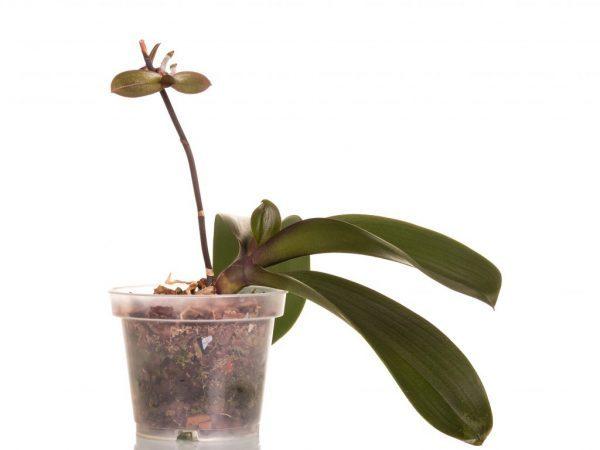 Цветонос орхидеи: откуда он появляется, как выглядит на фото, а также что делать, если фаленопсис дал новую стрелку, но она перестала расти?