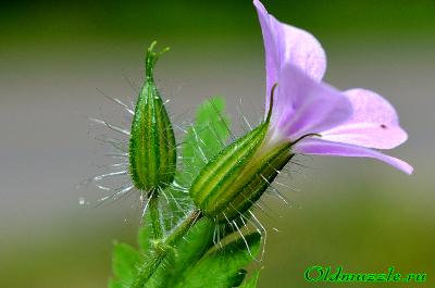 Герань роберта: описание растения и фото