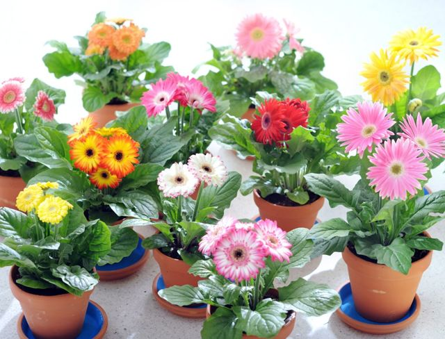 Гербера комнатная: уход в домашних условиях, фото, а также какой грунт необходим, как его поливать и как правильно ухаживать за цветком после покупки?