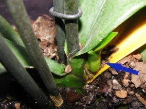 Листья орхидеи: фото и описание того, какие они по строению (простые или сложные), сколько их должно быть и какого цвета, возможные проблемы и уход за растением