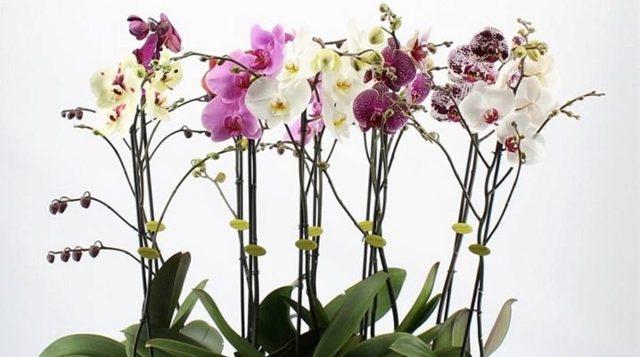 Белая тля: фото, и как бороться на комнатных растениях и цветах, как избавиться от нее на орхидеях в домашних условиях, что это за насекомое и откуда берется?