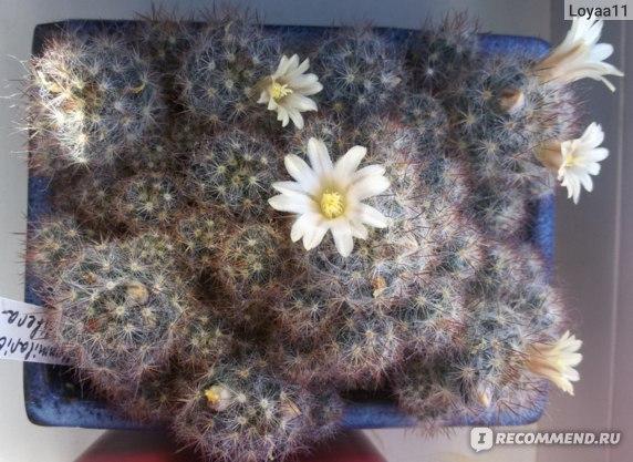Маммиллярия Пролифера (mammillaria prolifera): почему ее называют побегоносной, как выглядит на фото и что нужно для ухода?