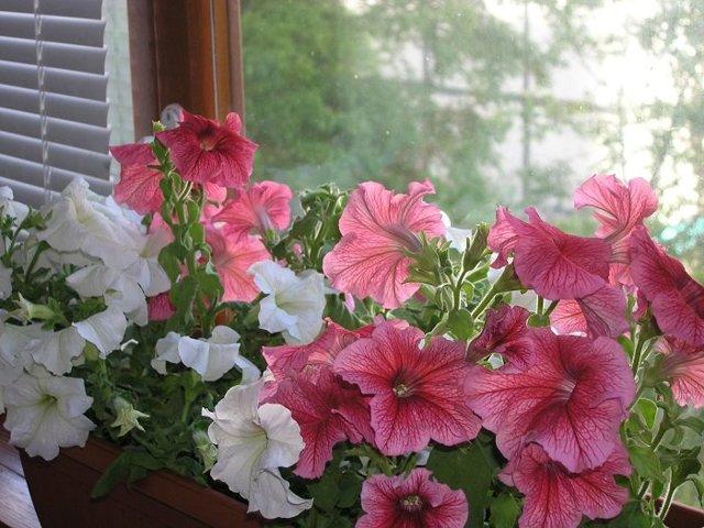 Как пересаживать петунию, в том числе в горшок, чтобы не повредить корневую систему и можно ли это делать с цветущим растением?