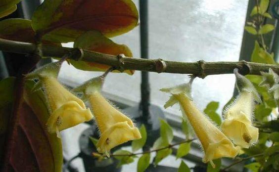 Нематантус (гипоцирта): описание растения и фото сортов цветка, а также особенности выращивания, размножения и ухода в садовых и комнатных условиях