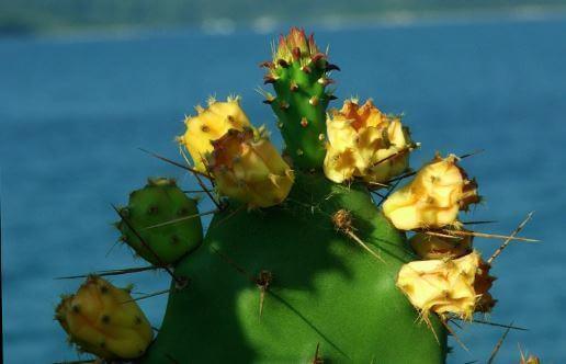 Опунция инжирная индийская (opuntia ficus indica) – что это такое, какими целебными свойствами обладает, что нужно учесть при выращивании и размножении?