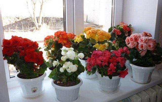 Бегония Элатиор: сорта Бориас, Микс и другие, уход за комнатным растением в домашних условиях, фото