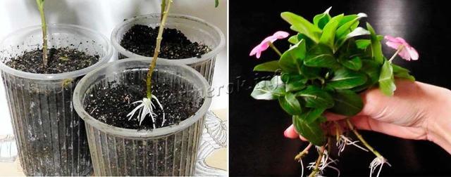 Катарантус: выращивание, посадка и размножение черенкованием, семенами, делением, а также лучшее время, чтобы посадить цветы в домашних условиях, фото