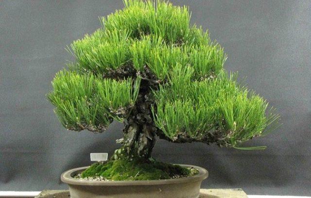 Гибискус дерево: фото и виды культуры подобной формы, уход в  саду, а также как вырастить декоративный бонсай?