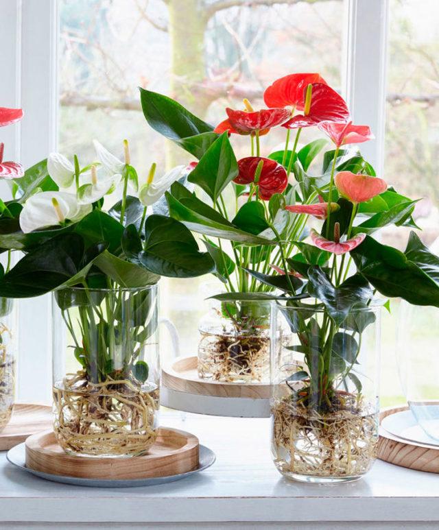 Как омолодить антуриум в домашних условиях: советы, каким образом обновить старый цветок мужское счастье, пошаговая инструкция по обрезке и фото растений
