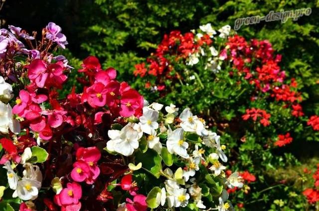 Бегония клубневая: название и описание любимых сортов для горшка и открытого грунта, фото видов и правила выращивания этого травянистого растения в саду и дома