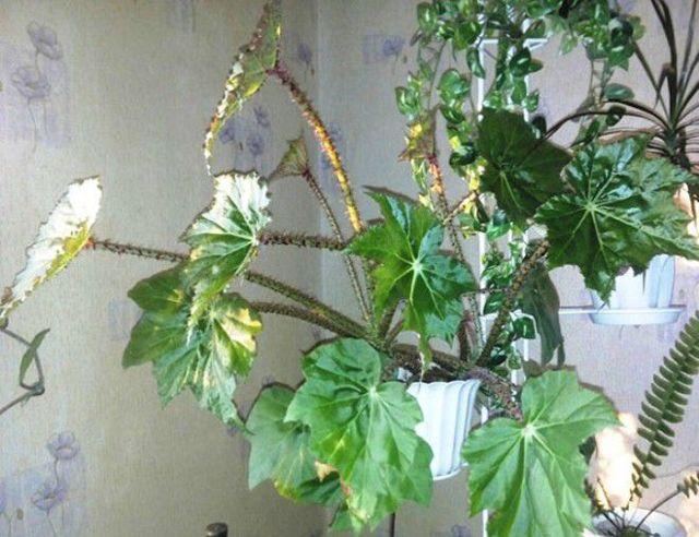 Как поливать бегонию в домашних условиях  и чем, а также уход за растением в горшке и что делать, если вы залили цветок