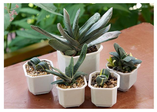 Комнатное растение гастерия: пятнистая, gasteria baylissiana, бородавчатая и другие виды с названиями, а также их фото, описание и особенности ухода