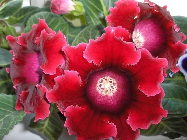 Глоксиния Розалинда: правила ухода, а также фото цветка и рекомендации при посадке растения