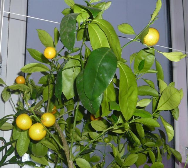 лимон выращенный из косточки будет плодоносить