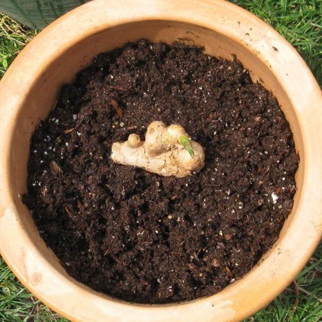 Что такое имбирь, где растет: фото в природе, родина, откуда его завезли, можно ли выращивать корень в России, в том числе в Подмосковье, и как в домашних условиях?