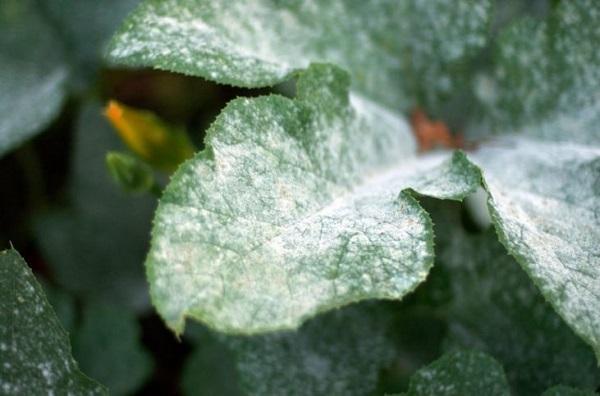 Почему желтеют листья у клеродендрума и что делать, если они опадают: диагностика болезни и лечение, вредители растения, причины появления недуга?