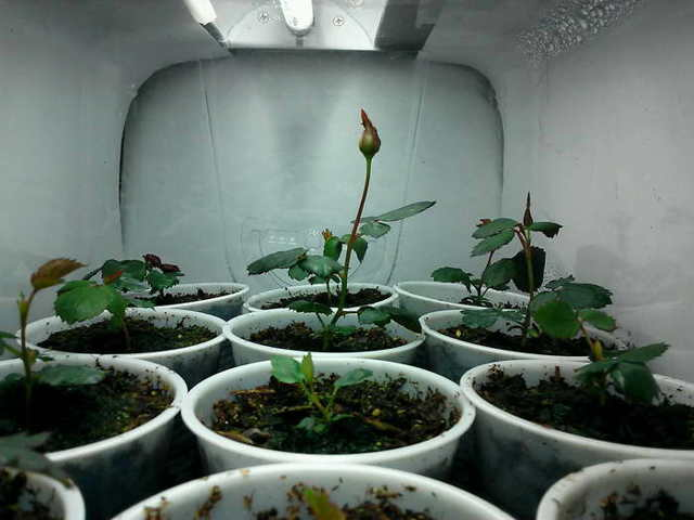 Полиантовые розы: что это такое, описание сортов, нюансы выращивания из семян в домашних условиях, посадки в открытый грунт и последующего ухода, а также фото цветов