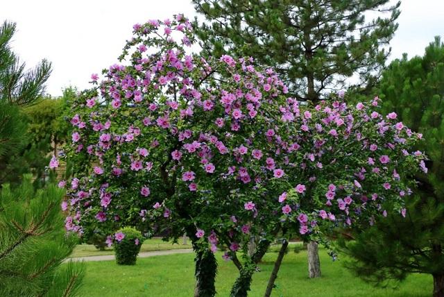Гибискус дюк де Брабант: фото, описание растения, инструкция по посадке и уходу, сравнение с сирийским hibiscus specious и другими похожими цветами