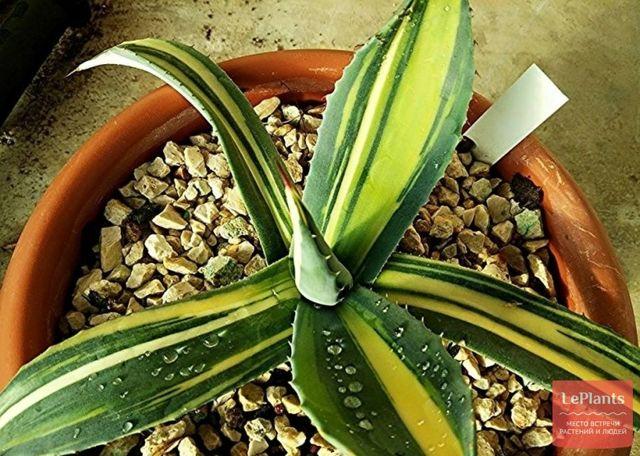 Агава (agave): что это такое, описание суккулента и его плодов, фото сортов цветка, история происхождения комнатного растения и на каком материке оно обитает