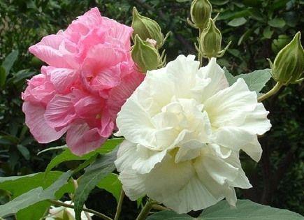 Гибискус изменчивый (hibiscus mutabilis): описание и фото цветка «сумасшедшая роза», уход в домашних условиях, а также выращивание из семян и размножение черенками