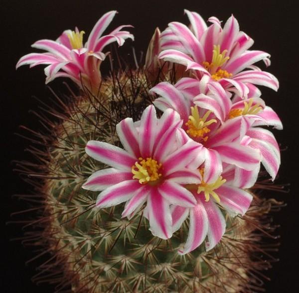Маммиллярия бокасана (mammillaria bocasana): описание растения, размножение, уход, возможные болезни