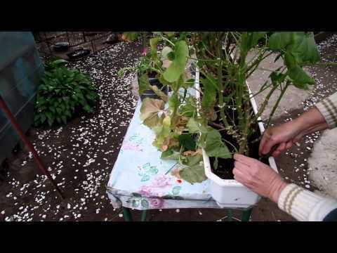 Как посадить герань комнатную, крупнокорневищную и луговую: инструкция, как это правильно сделать в домашних условиях и на улице в открытый грунт, а также фото