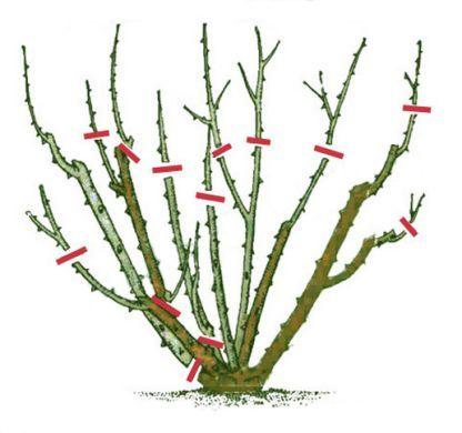 Обрезка плетистых роз для начинающих: нужно ли проводить процедуру весной, на зиму, осенью и летом и как правильно делать формирование цветка?