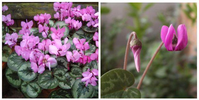 Цикламен: что это и как выглядит, где родина комнатного цветка, как и сколько он живет в природе и в домашних условиях, а также фото и цены на луковицы растения