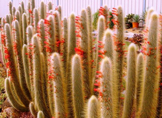 Клейстокактус Штрауса: особенности ухода за комнатным растением в домашних условиях и в открытом грунте, а также рекомендации по размножению цветка