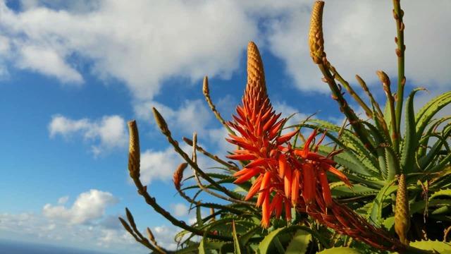 Как цветет Алоэ вера: как выглядит распустившееся растение на фото, как правильно помочь образоваться бутонам в домашних условиях, когда опадают лепестки?